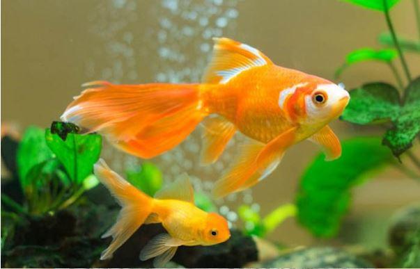 Điều thú vị về mơ thấy cá vàng